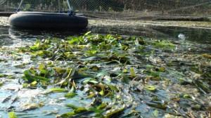 Endstation Unterwasserpflanze: Aus Nitrat und Phosphat entsteht Blattmasse, die wir gelegentlich abernten.