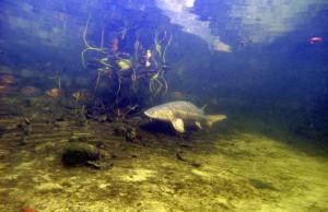 Stoer im klaren Teichwasser