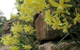 Steingartenzwiebeln, Blumenzwiebeln von NaturaGart