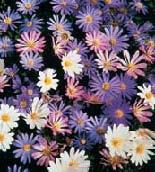 Strahlen-Anemone (Anemone blanda), Blumenzwiebeln von NaturaGart