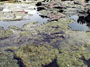 Algen treiben auf der Oberfläche eines Teiches