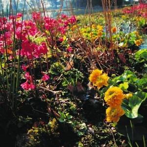 Teichpflanzen Bunter Frühling NaturaGart-Zierteich-Sortiment