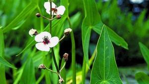 Teichpflanzen NaturaGart