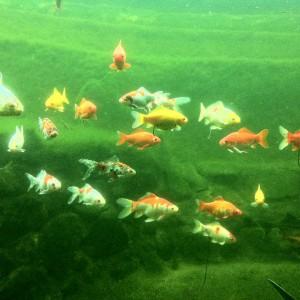 Top-Sichtweite auch in Fischteichen: NaturaGart zeigt in seinem Park, dass sauberes Wasser im Fischtein möglich ist.