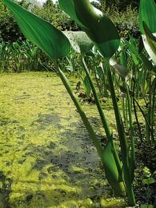 trueben-teich-vermeiden-teichpflanzen-3-naturagart