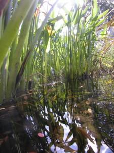 Wasserpflanzen im Filtergraben