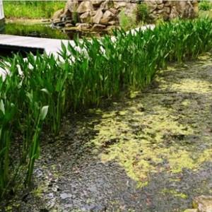 wasserpflanzen-im-filtergraben-referat-teil-4-1