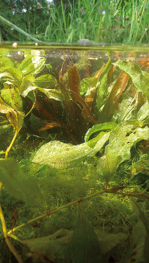 Pflanzen f r den gartenteich unterwasserpflanzen for Fischteich wasser reinigen