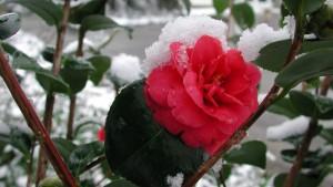 Bluhende Rose mit Schnee